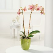 A Lovely Orchid Plant on Mother's Day